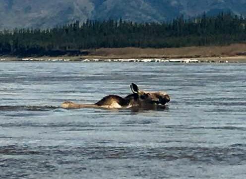 Moose (496x361).jpg