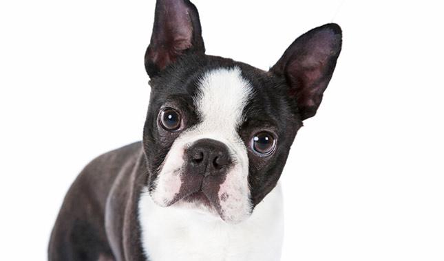 boston-terrier-perro.jpg