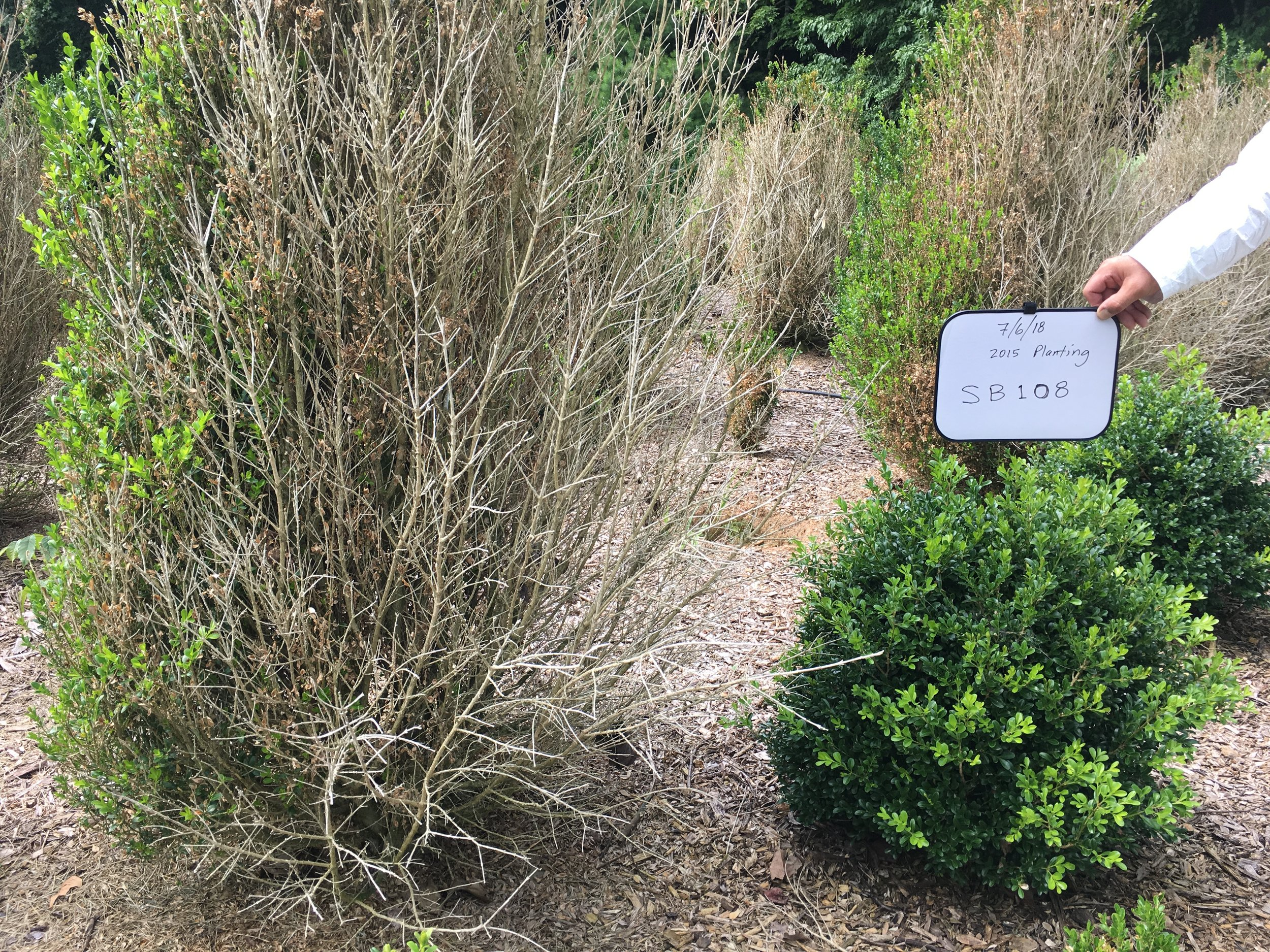 A photo of  Buxus  'SB 108' NewGen Independence™ next to an American Boxwood, planted on the same site for 3 years.