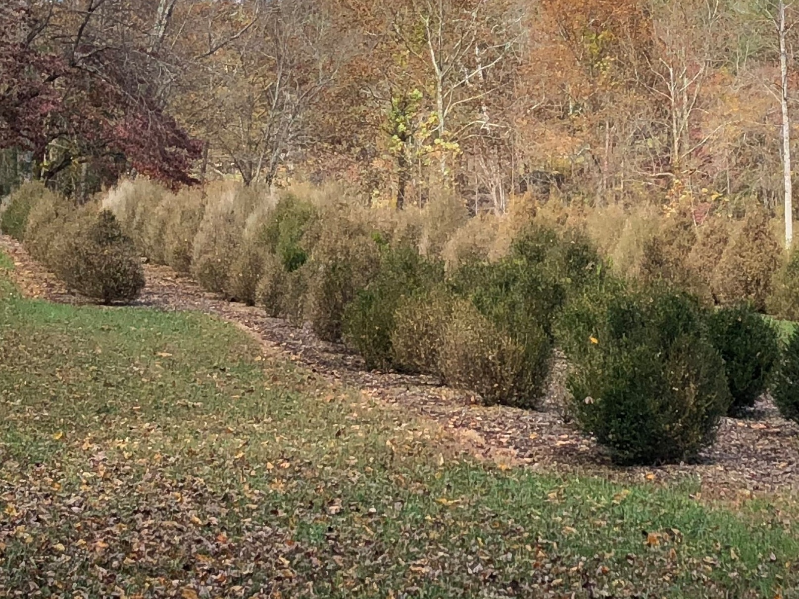 Here a row of boxwood sit on a river bottom surrounded by trees. Locations like these are not ideal due to a lack of air movement.