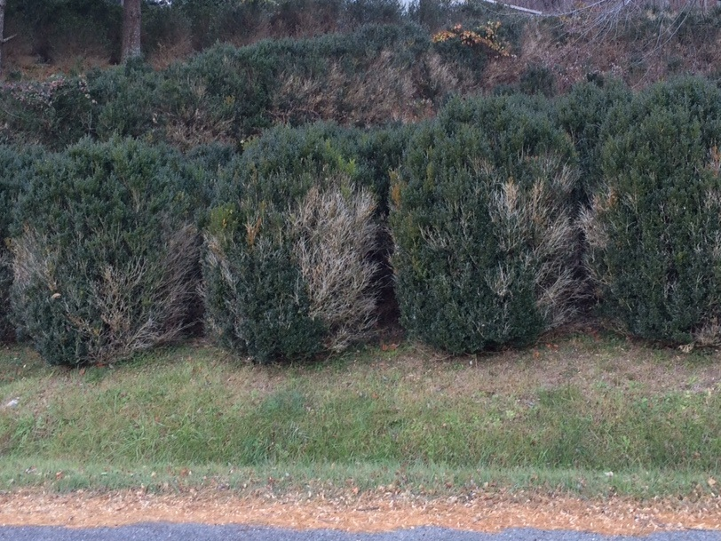 This shows how Boxwood Blight starts in the lower parts of the plant where there is less air movement then splashes throughout the plant. These are B. sempervirens cultivars which are more susceptible to the disease.