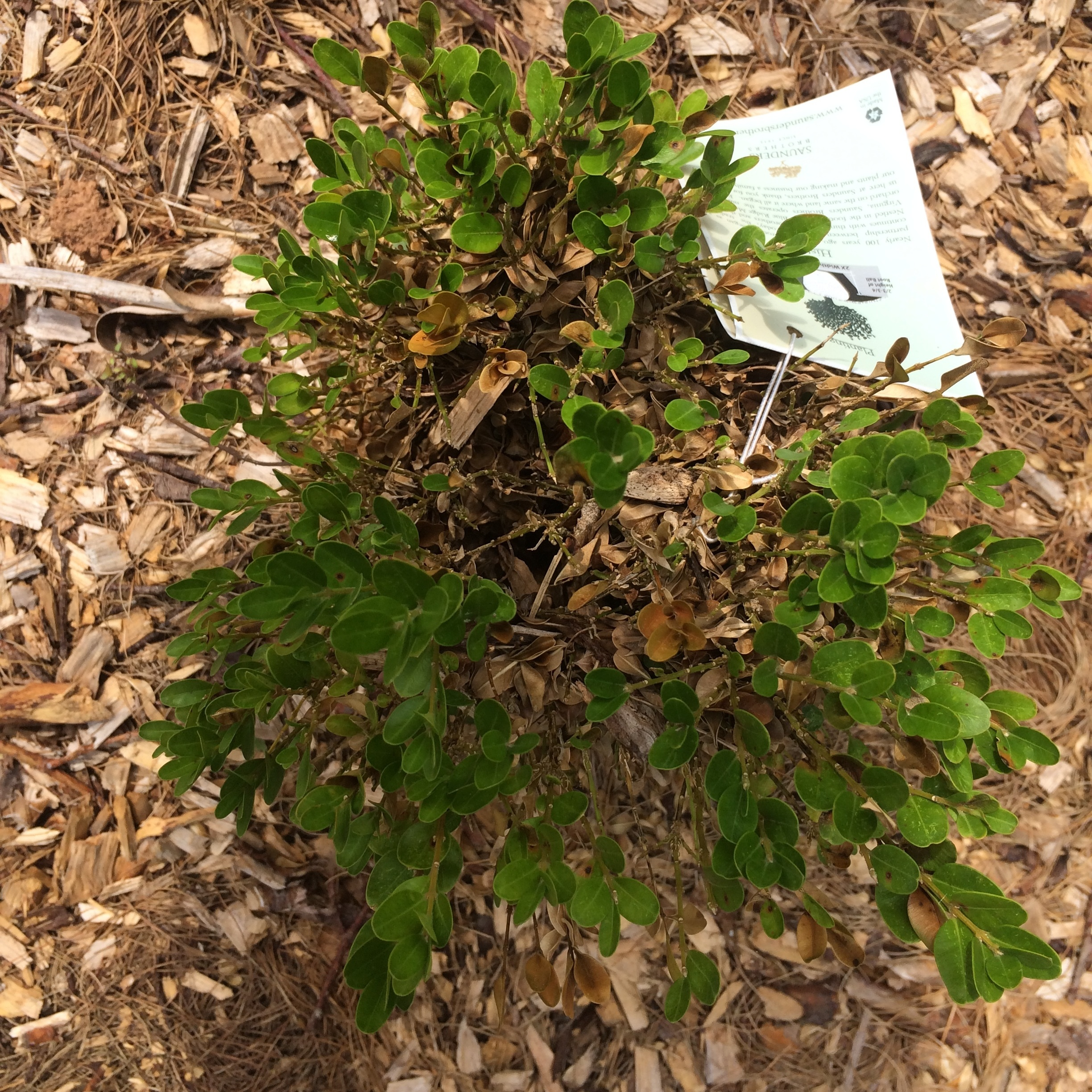 Boxwood Blight typically starts at the bottom/middle of the plant and spreads as the spores move throughout the plant.