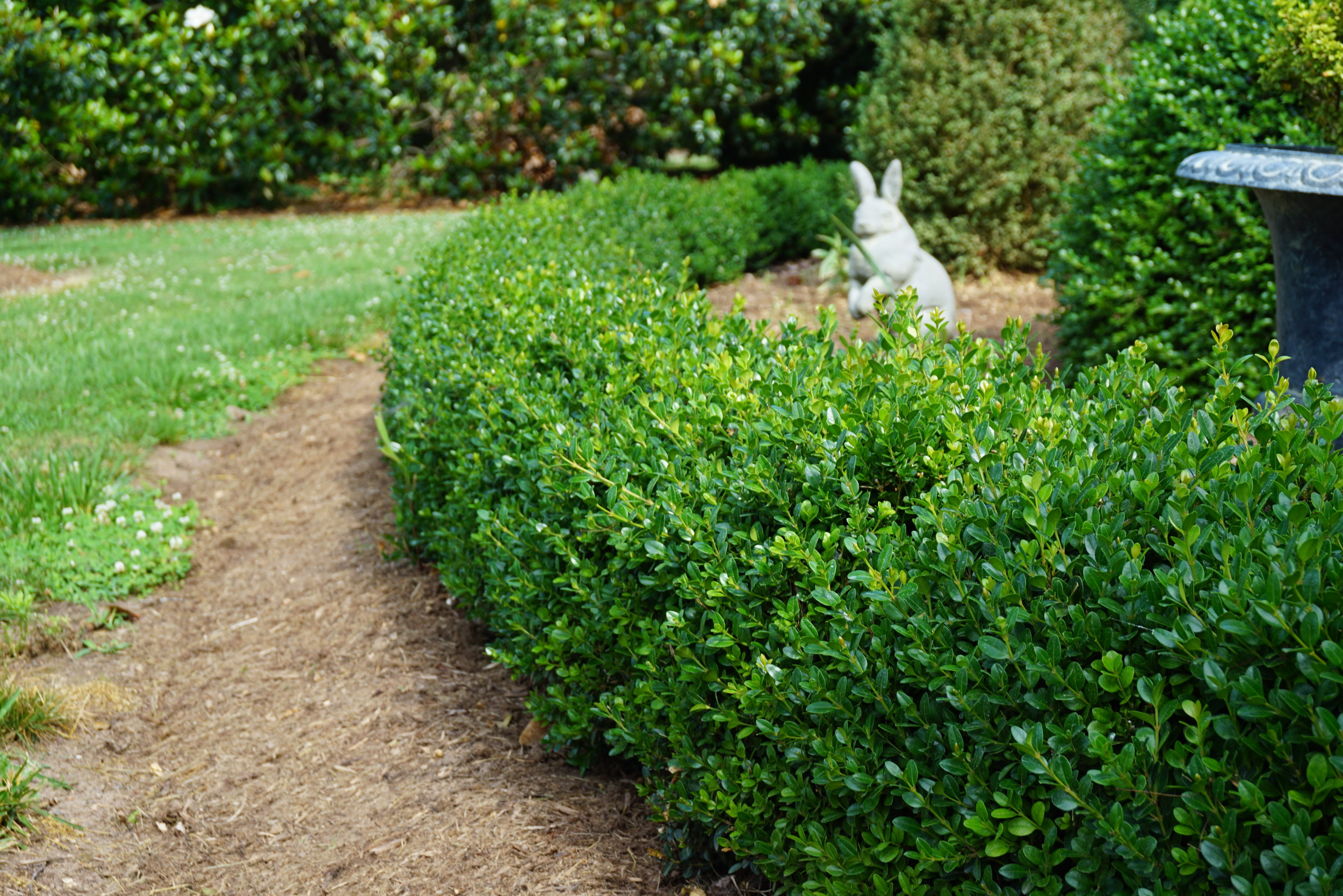 Boxwood being used as a hedge in a landscape.