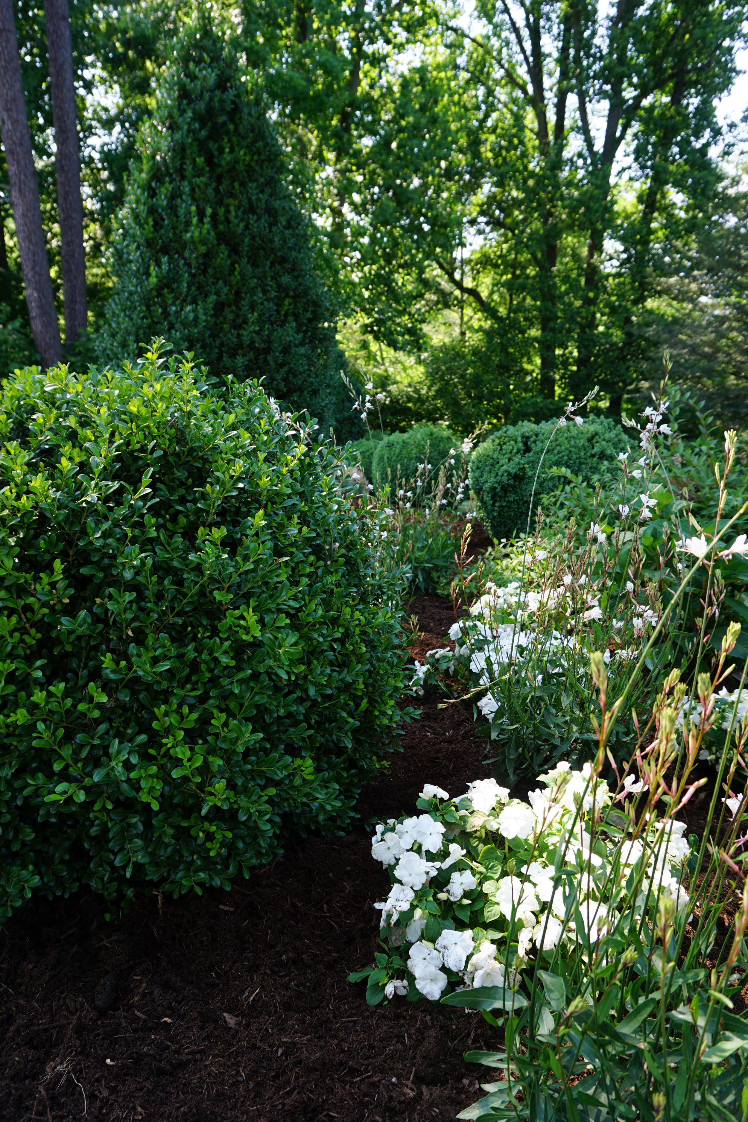 Several boxwood in a shady site.