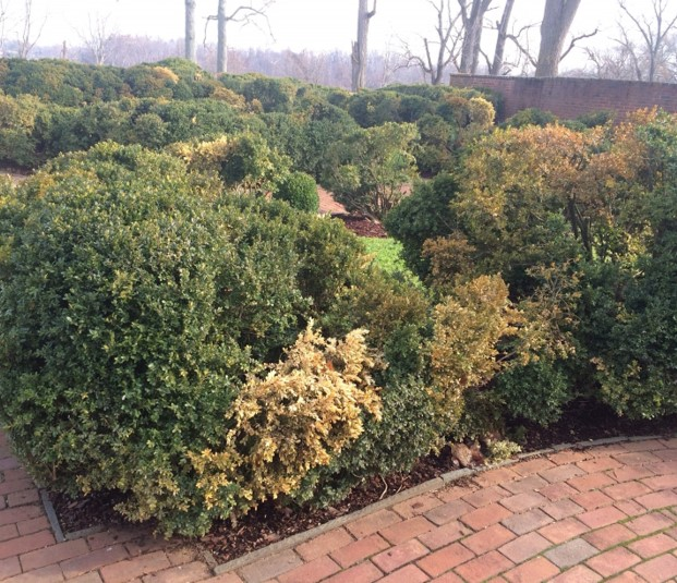 Boxwood Decline affecting English boxwood in a landscape