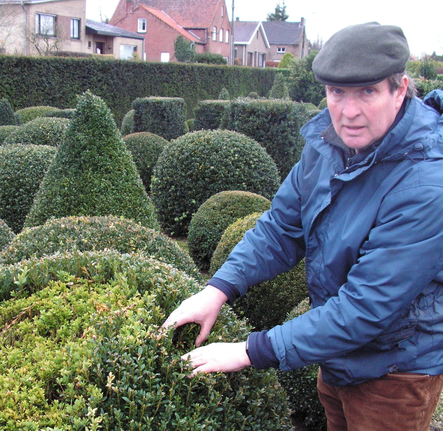 Researcher in Europe showing examples of Boxwood Blight.