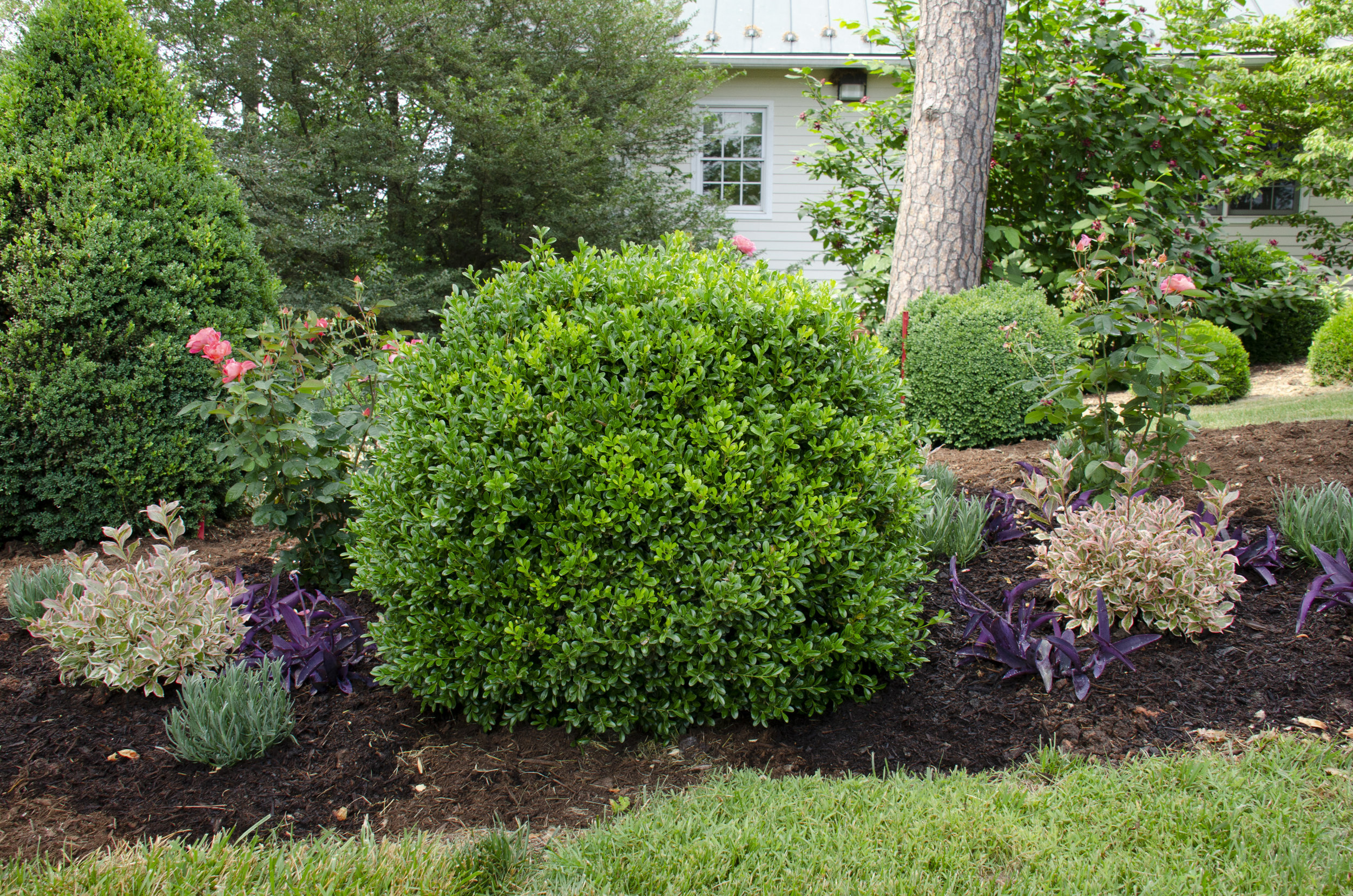 A freshly mulched bed of NewGen Independence® and perennials.