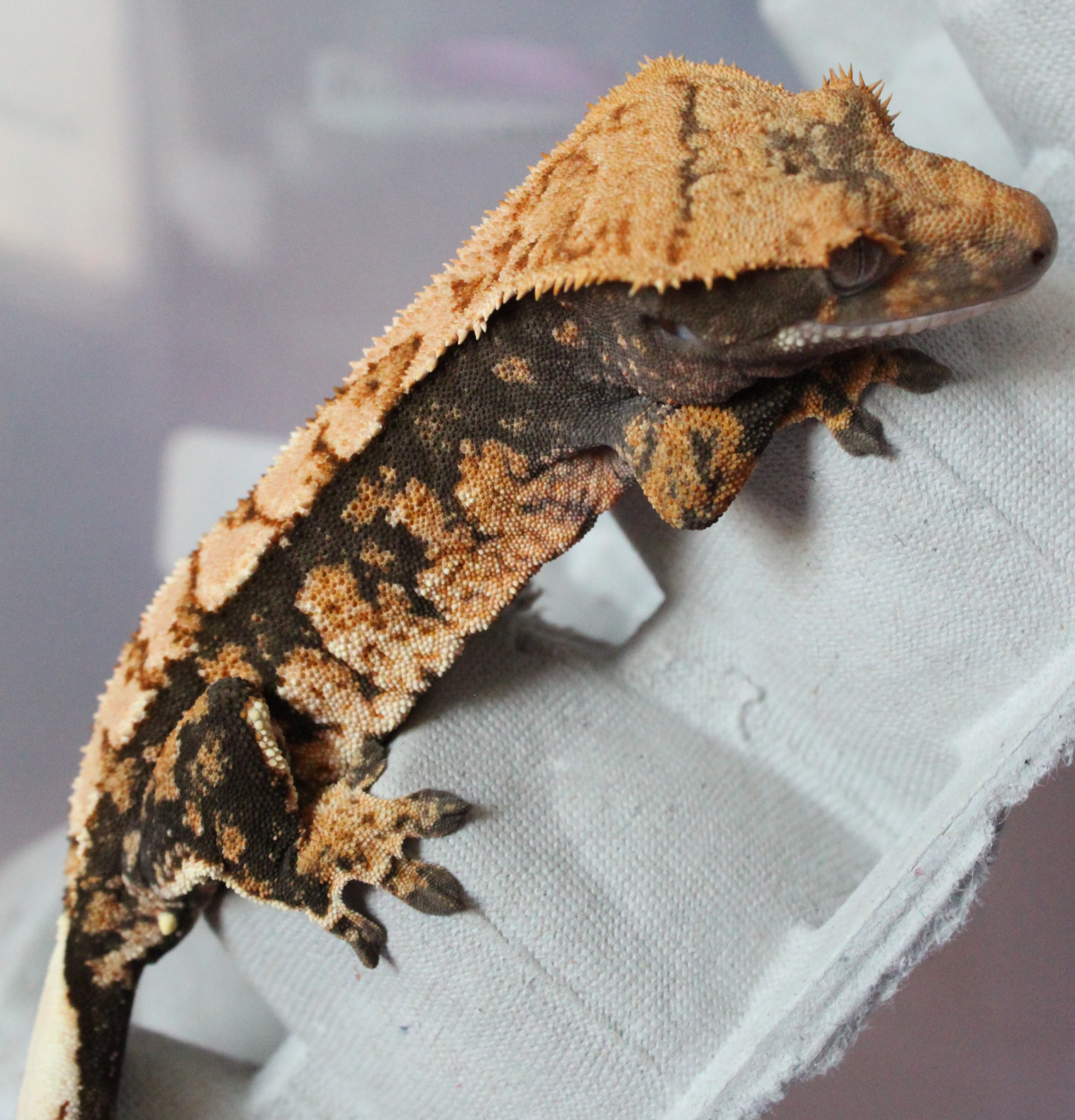 Indigo - Extreme Tri-color W/Pin Dashing: One of the daughters of Ember & Magma, Indigo is a beautiful crested gecko who I'm sure will be a stunner as she gets bigger! This lil one's patterns are so beautiful, I can not wait to see what babies she will produce in a couple years!