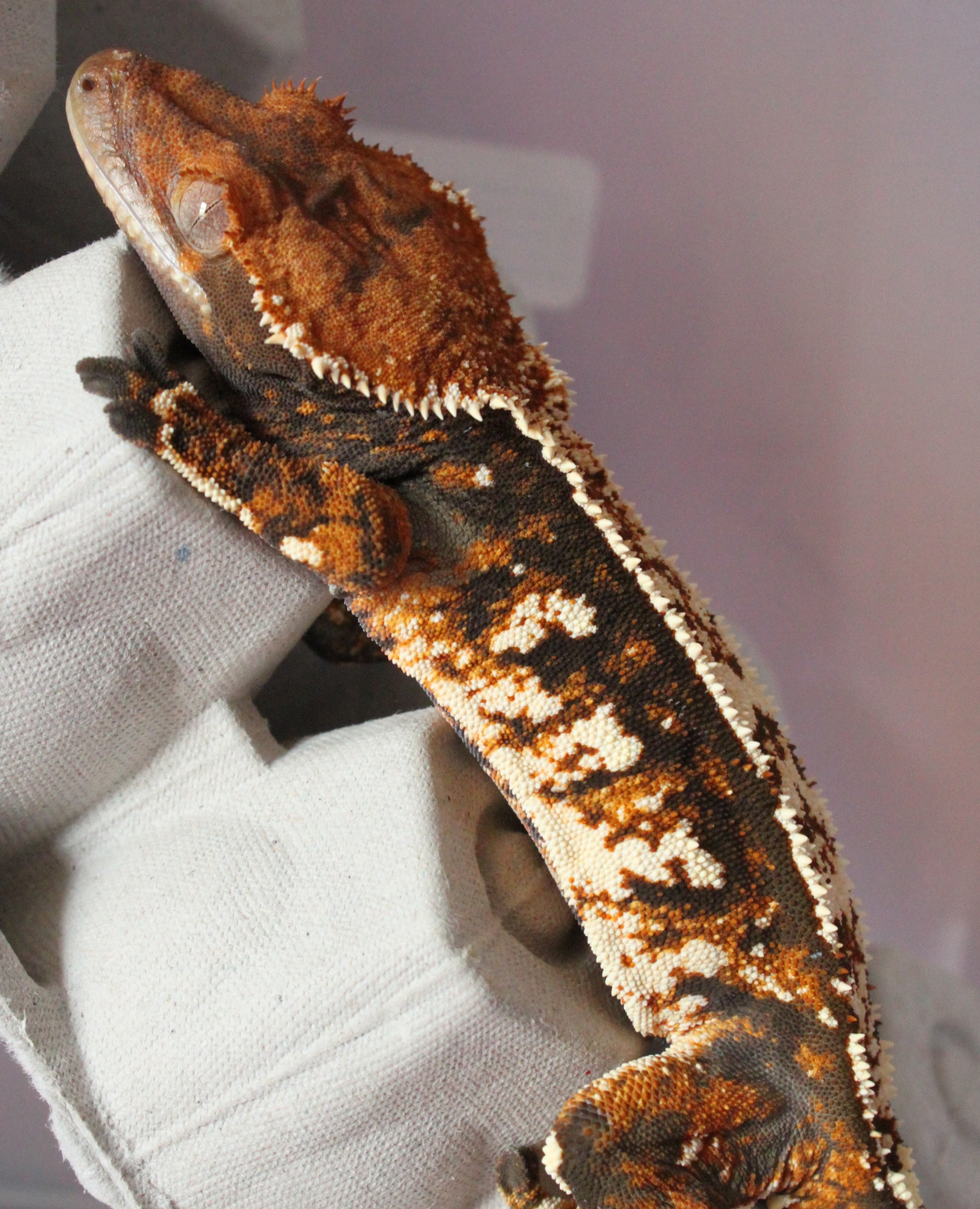 Snickers - Extreme Tri-color W/80% Pin Stripe: A daughter of Blaze & Magma, Snickers is one stunning gecko! I love her crest and its gorgeous white tips. I can not wait to see this girl grown and to see in a few years what she might produce! She also has the most pinning out of all the babies on this list, so she'll be one of the ones who'll be used first to try and get full pin stripe extreme tri-colored babies!