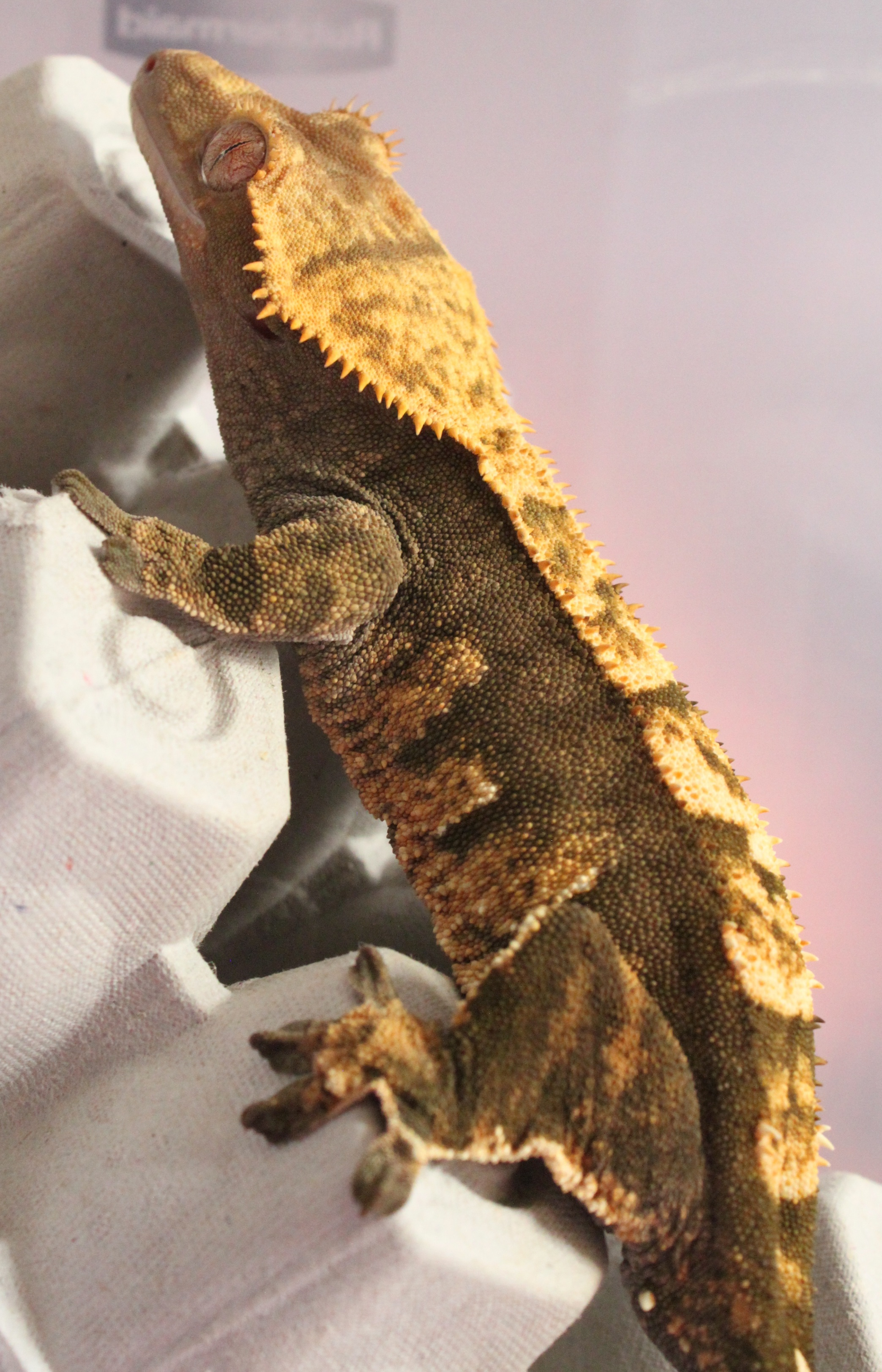 Ember - A Harlequin: Mother of 4 of my baby crested geckos, Ember was the Gecko who started it all! She was my first gecko I got back in December of 2014 at the age of 2-3 months! She's also the only gecko I've bought at a chain pet store and she's also the last, as I only buy from breeders now, as most breeders can not only provide hatch dates, weight records and lineage, they also take way better care of their babies than say, petco or petsmart. Ember is a gentle girl as well as a big girl at 9 inches long! She's very social and loves to fall asleep on my shoulder!