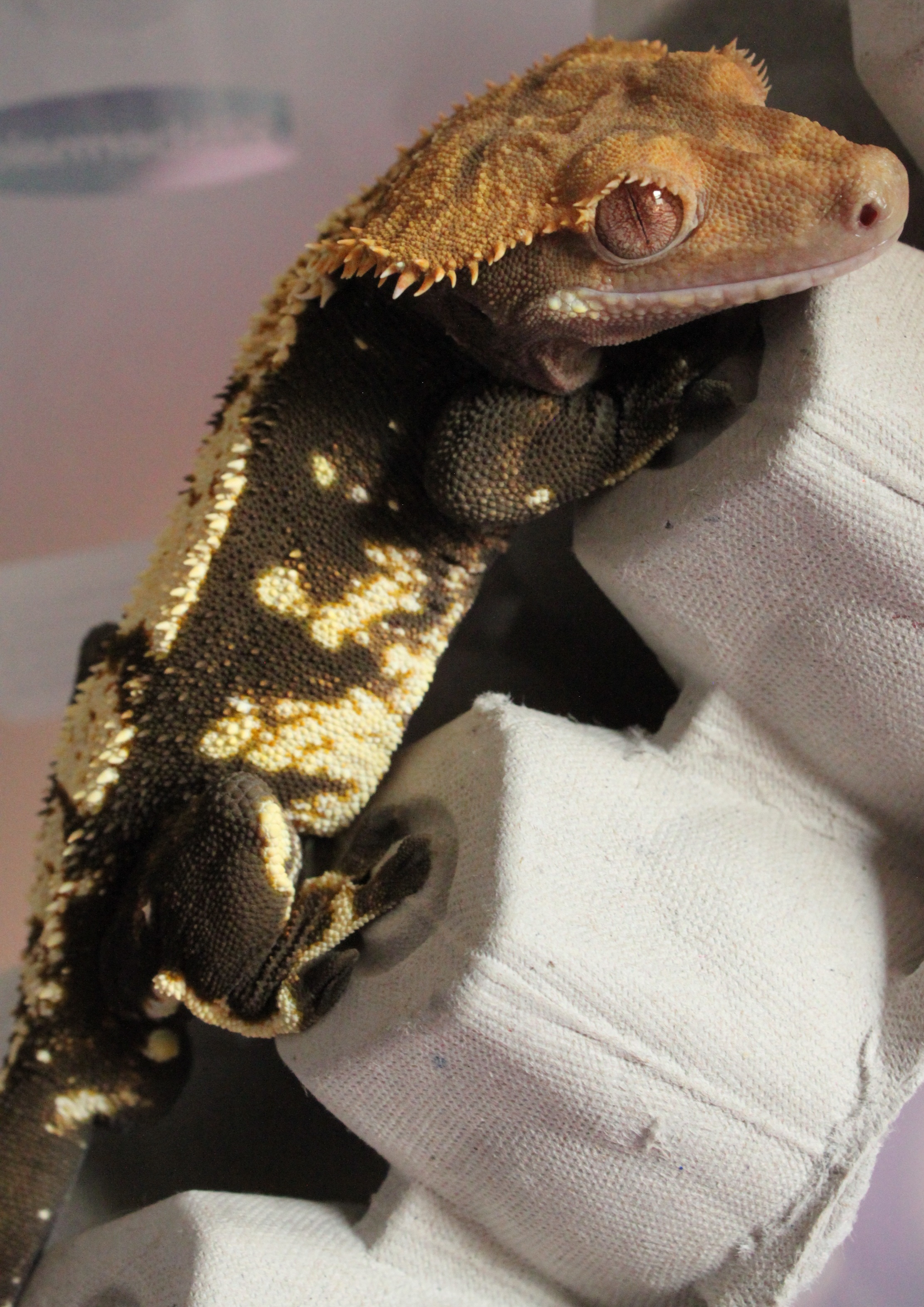 Magma - A Blonde Harlequin: Father of all my current babies. He was originally produced by Apollo's Geckos from Cee x Lava in September of 2014. He then was with Tip O' Texas Geckos for a while before coming into my possession in 2016, where he now has a permanent home! He is the most laid back of all my adults and I hope his babies inherit his peaceful demeanor.