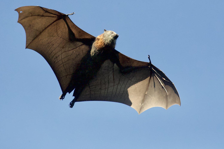 Bats Wildlife Control Services