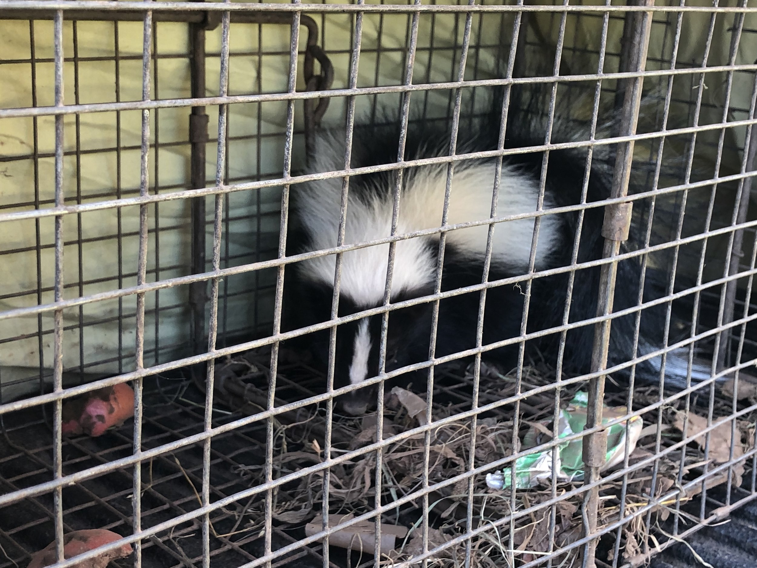 Baby skunk from new britain.JPEG