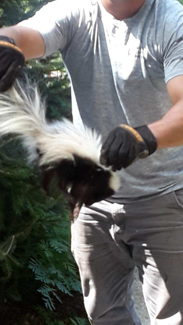 Skunk in South Windsor.JPG