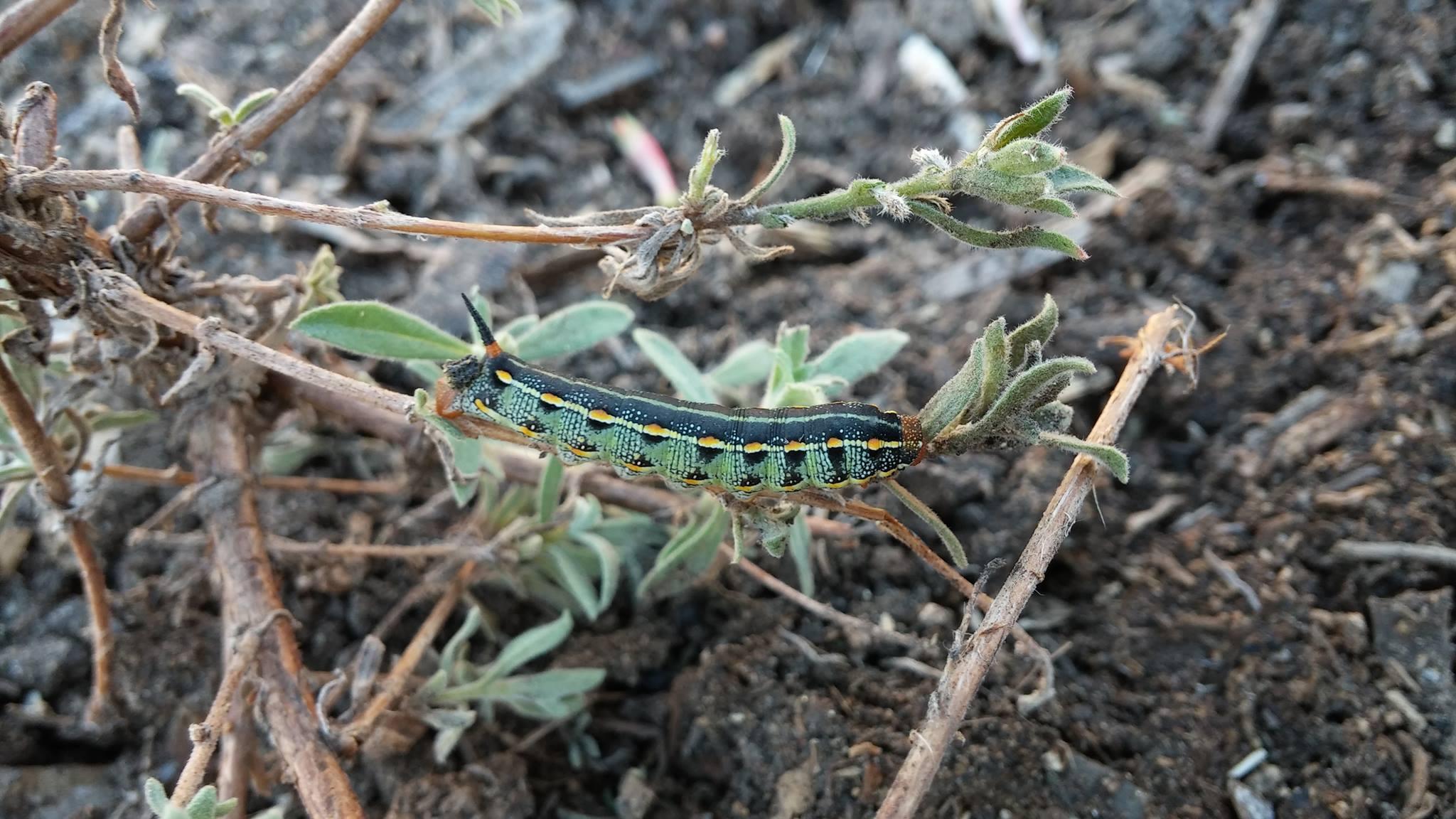 Caterpillar ?.jpg