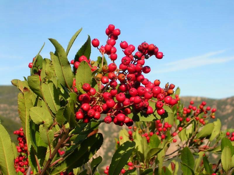 Toyon berries, blue sky.jpg