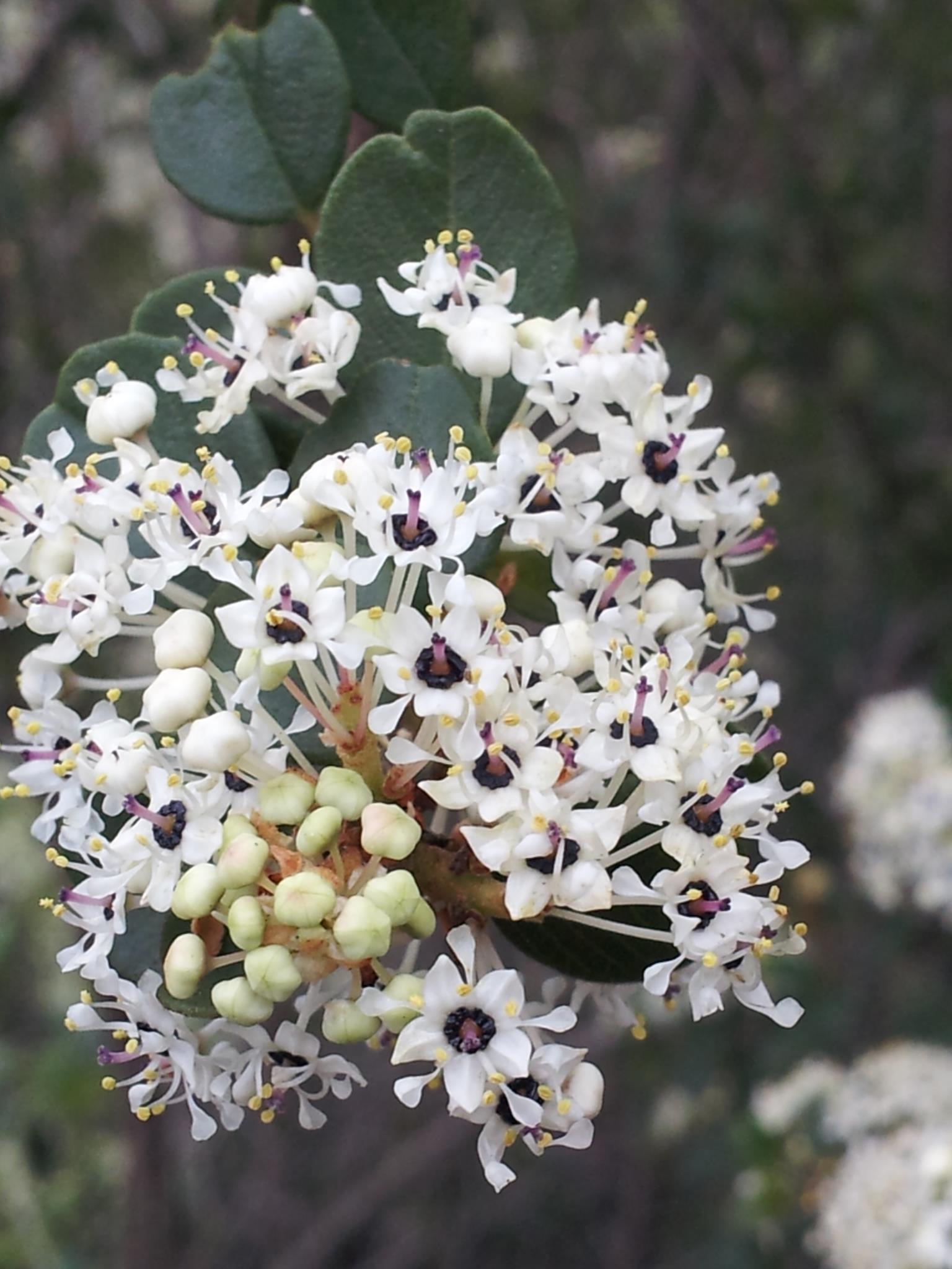 Wart-stem Ceanothus (Ceanothus verrucosus).jpg