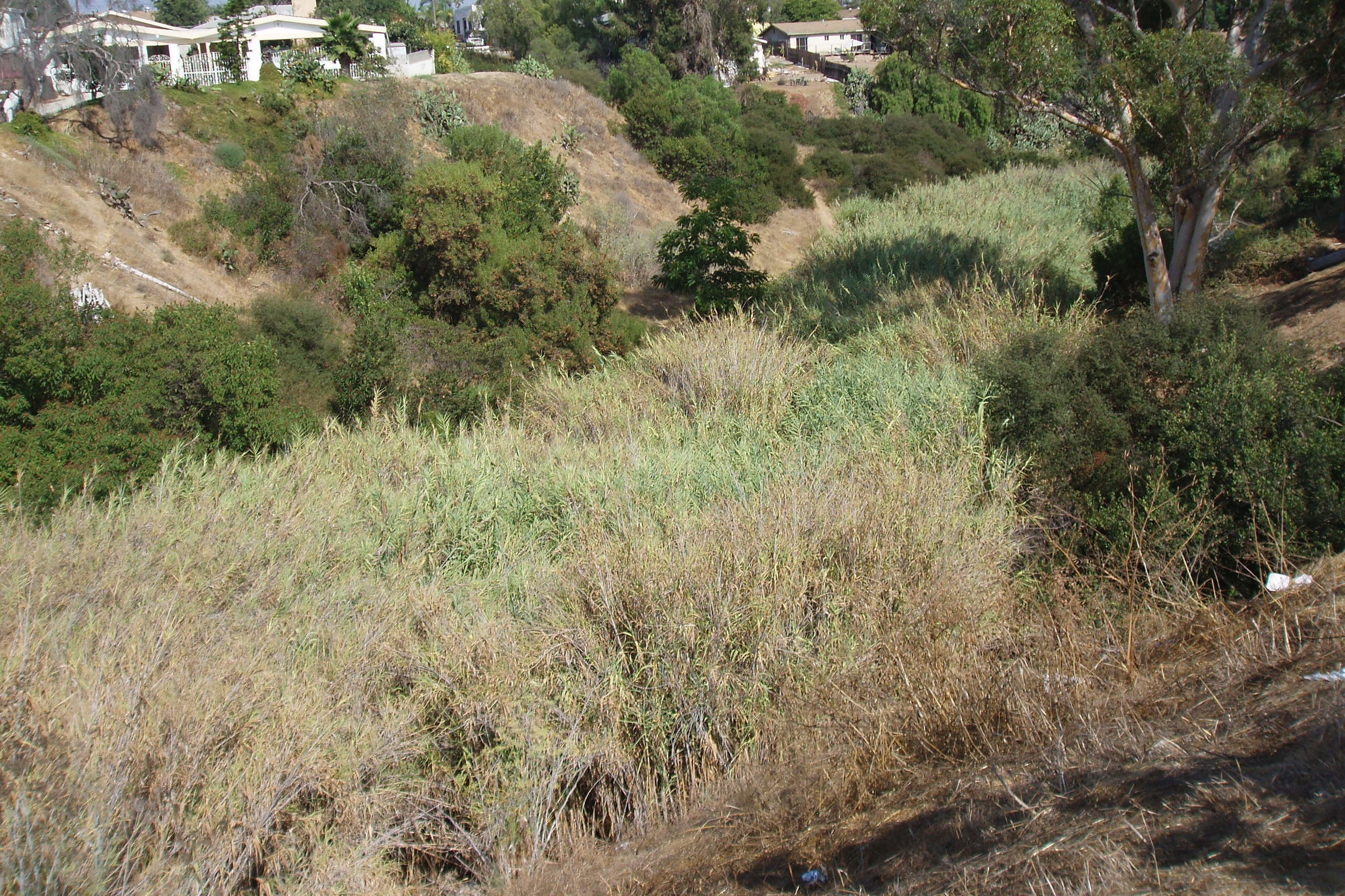 BEFORE:  Olivia Canyon (formerly 47th Street Canyon) in City Heights in 2009, filled with the incredibly invasive species, Giant Reed ( Arundo donax ).