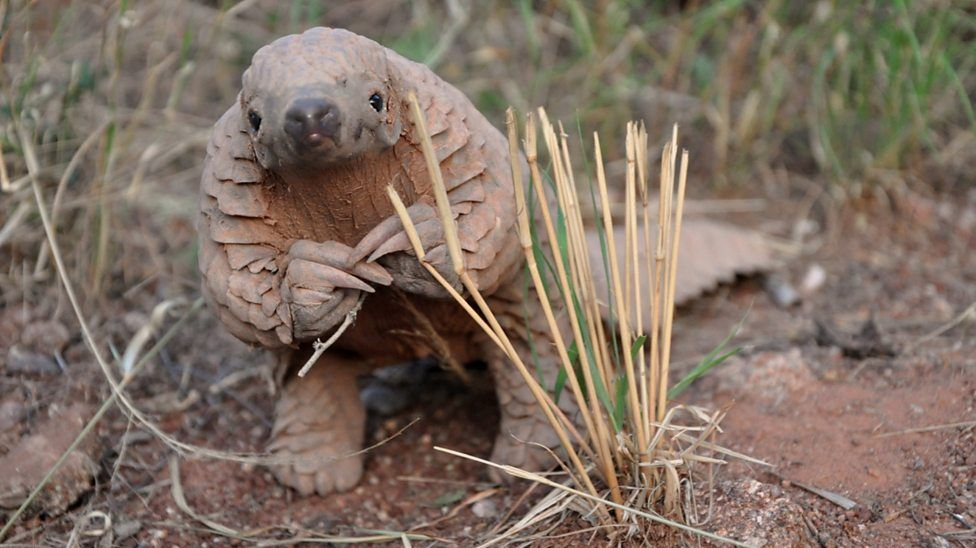 Save Pangolins - HOW WE ARE DOING OUR BIT.We have launched a crowdfunding campaign in the hopes of raising $20,000 to buy ourselves a copper still to make some gin and save some pangolins. For every $10 we raise in this campaign $1 goes to Save Pangolins.If the campaign is successful, Blend Etiquette will continue to donate 10% of all profits attributed to the sale of Gin Pangolin to Save Pangolins. Please do the research on them, we did and loved what we found. All your generous support will go directly to a home grown South Australian business and to Save Pangolins.
