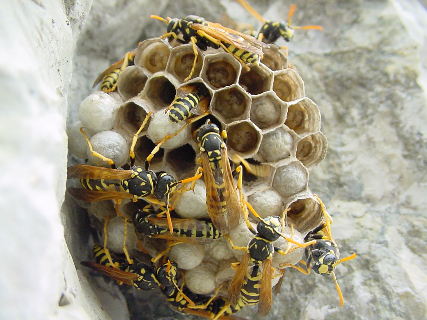Paper wasps ( Polistes dominula ) on nest