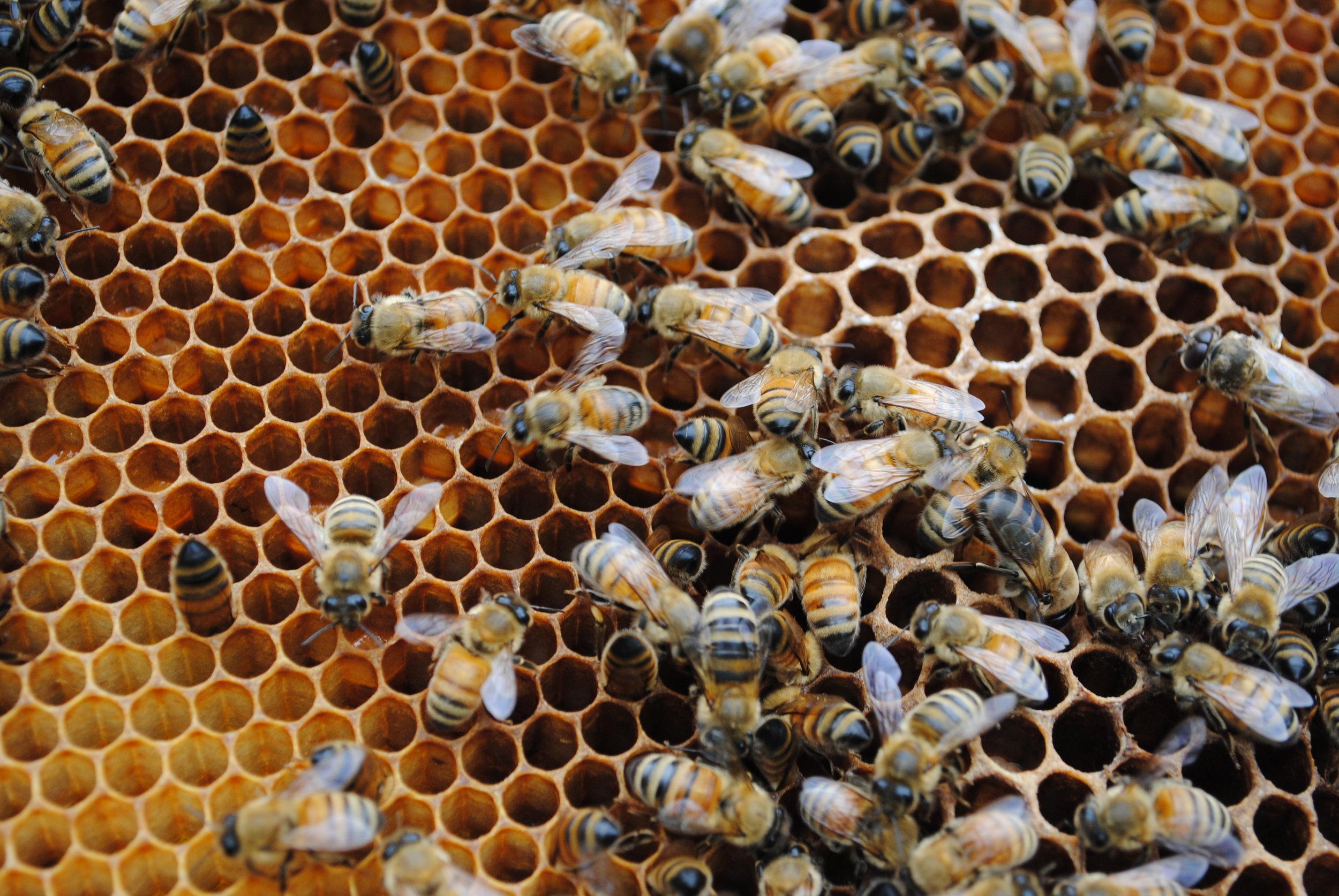 Honeybees ( Apis mellifera ) on comb