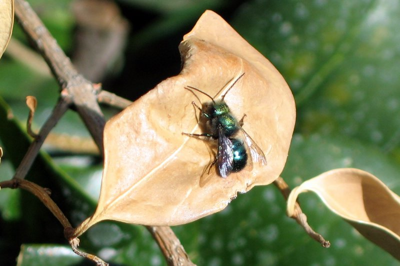Blue orchard mason bee ( Osmia lignaria )