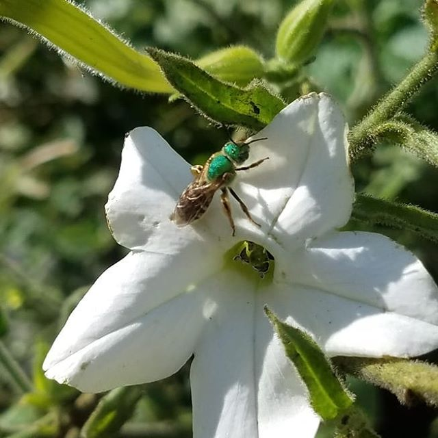 Fall fashion on a floral arrangement. This stunning little Green sweat bee was busy on some tobacco flowers and borage today. #littlefriends #microcosmos #looksgoodingreen #complimentsyour compoundeyes