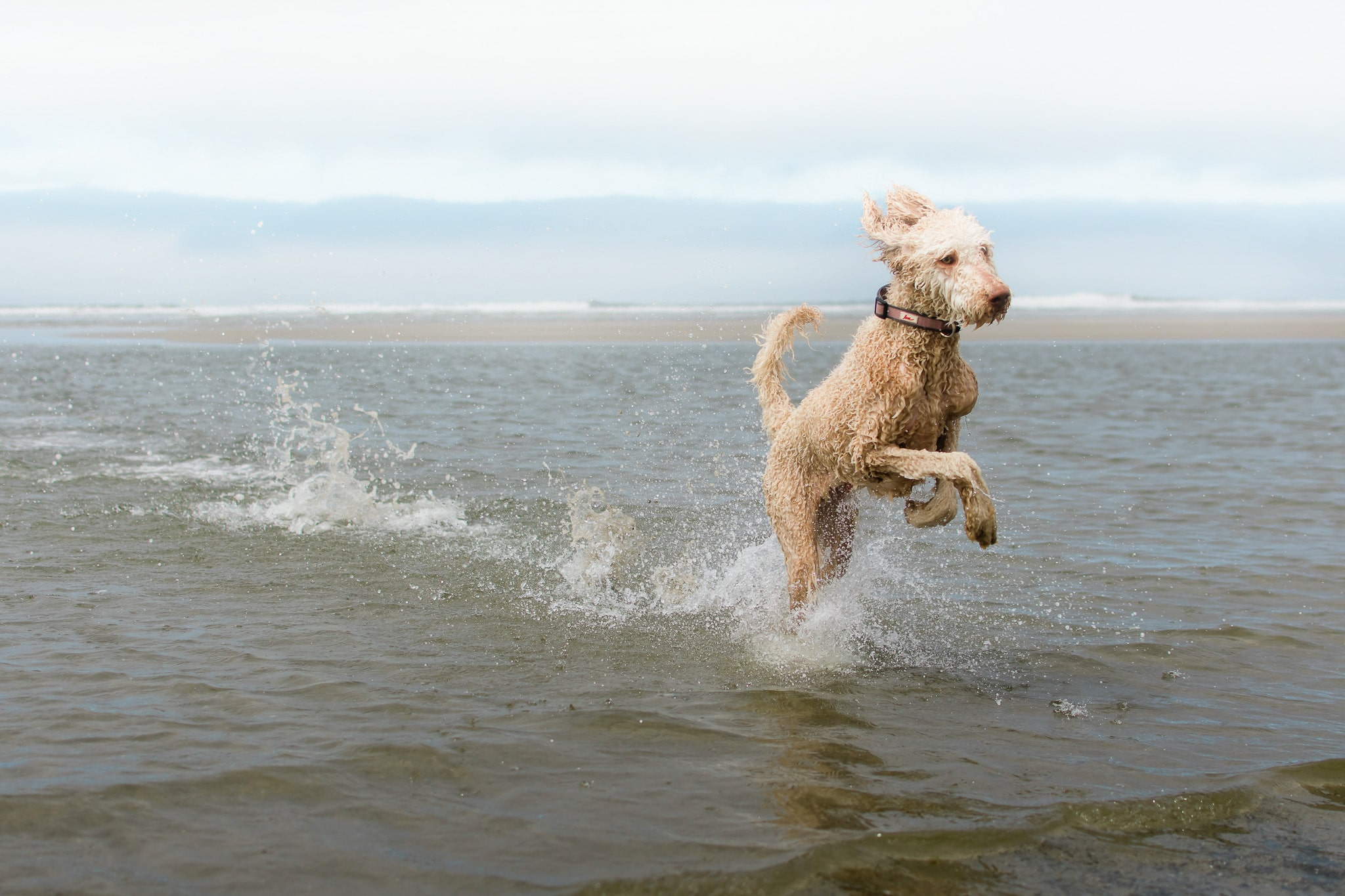 Labradoodle at the the Oregon Coast by Oregon Pet Photographer