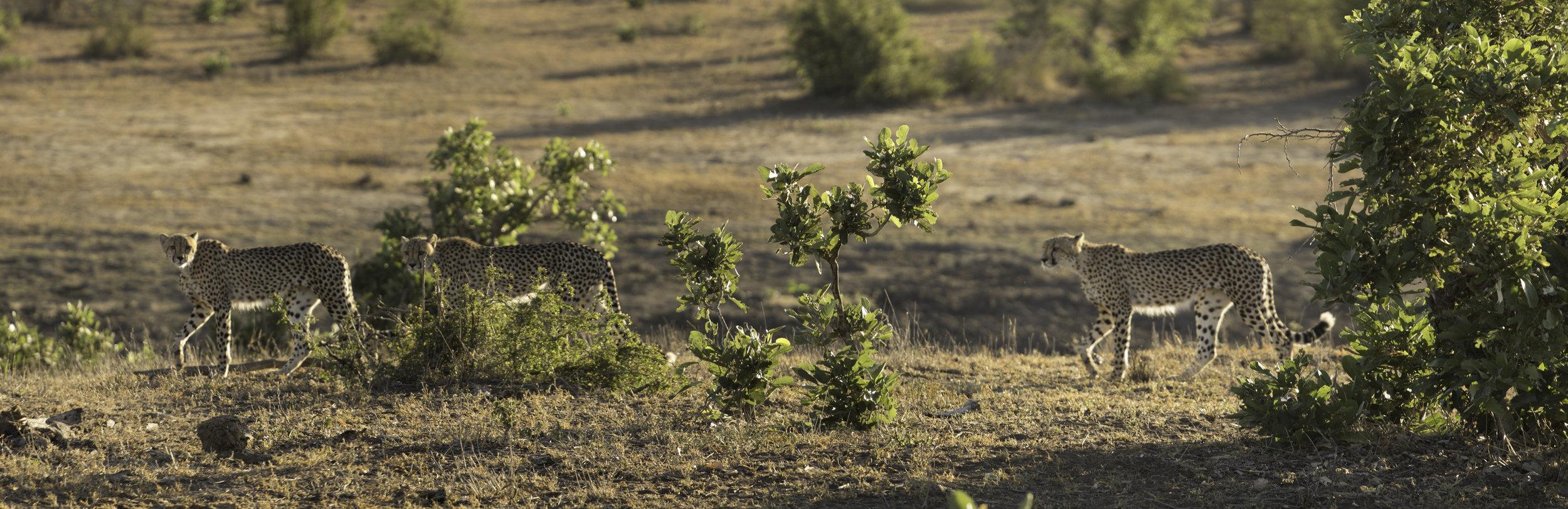 100% of profits go to helping cheetahs thrive. -