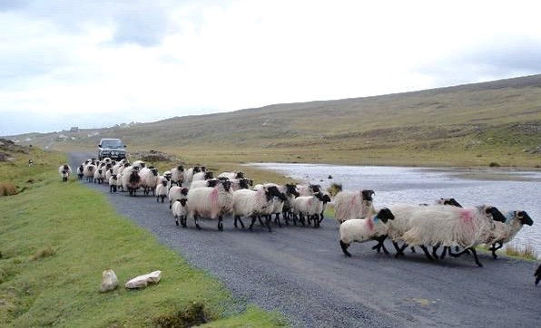 more sheep.jpg