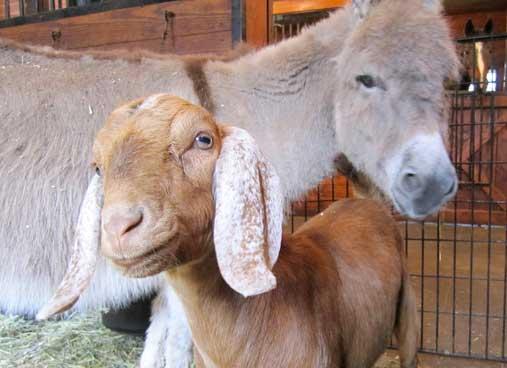 bella-the-goat.jpg