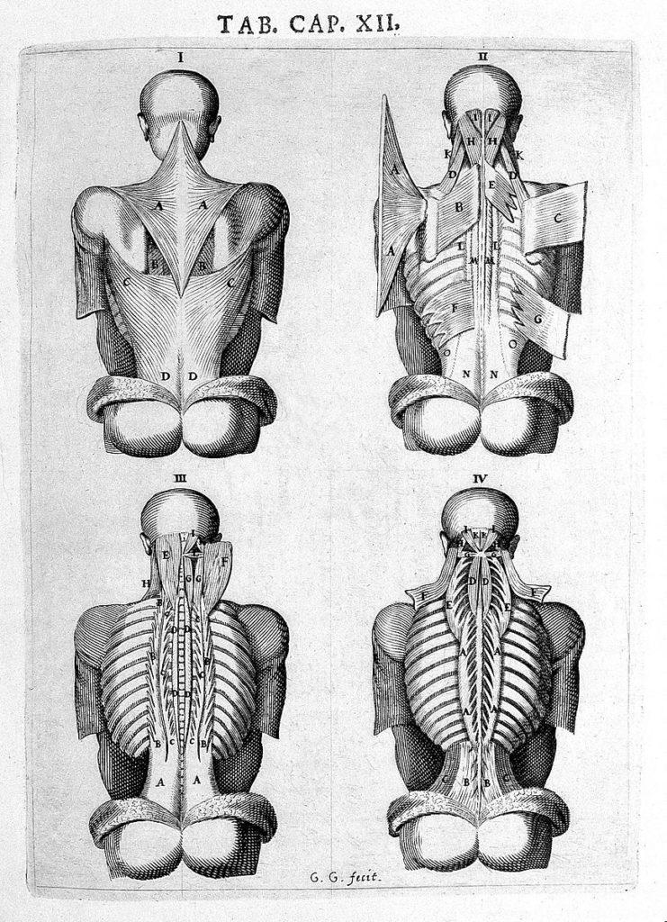"Back of human figure, spine; Vesling ""Syntagma"", 1647."