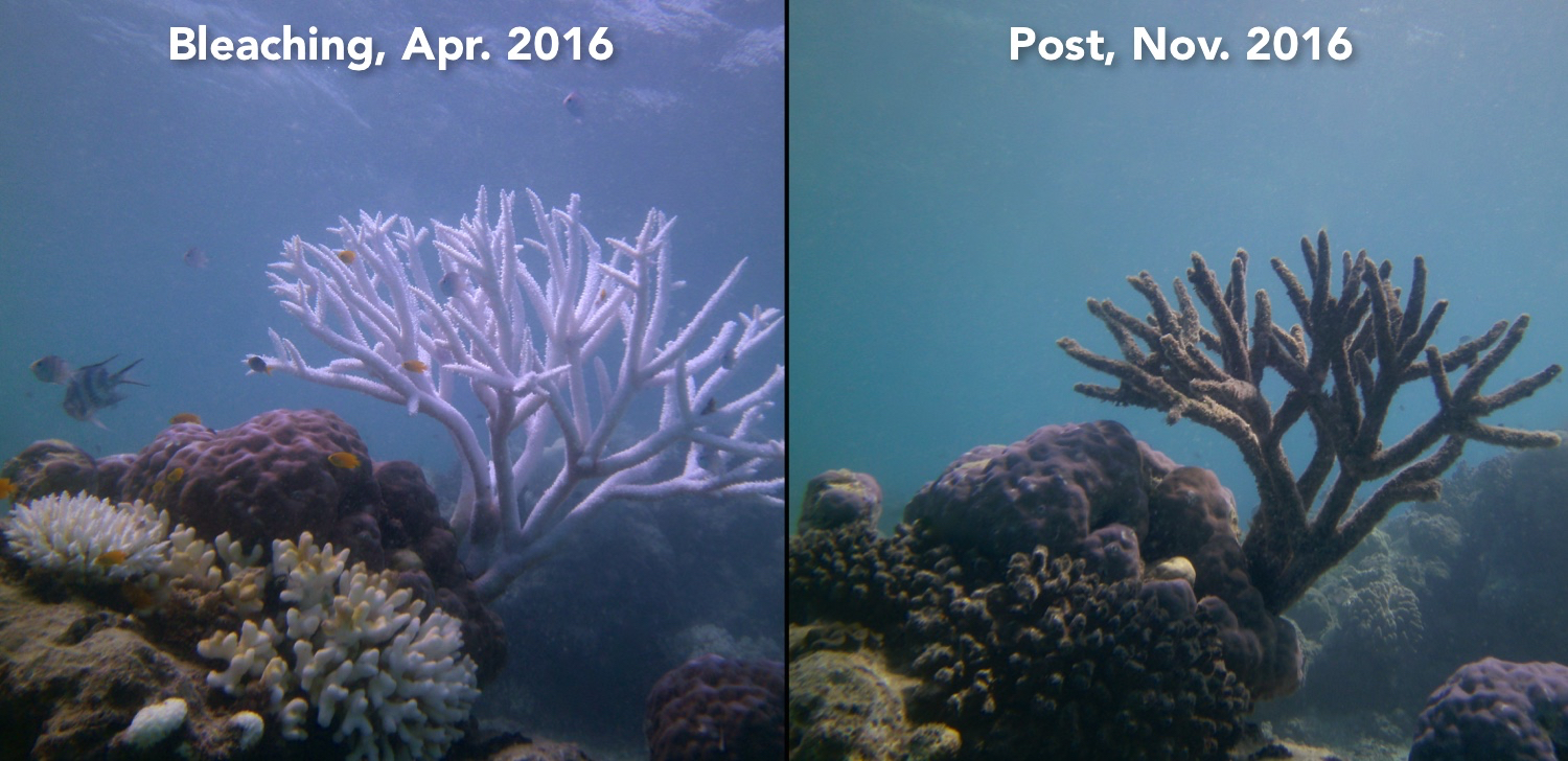 Lizard Island, GBR during and after the 2016 bleaching event (above) and associated pictures from the fieldwork (below).
