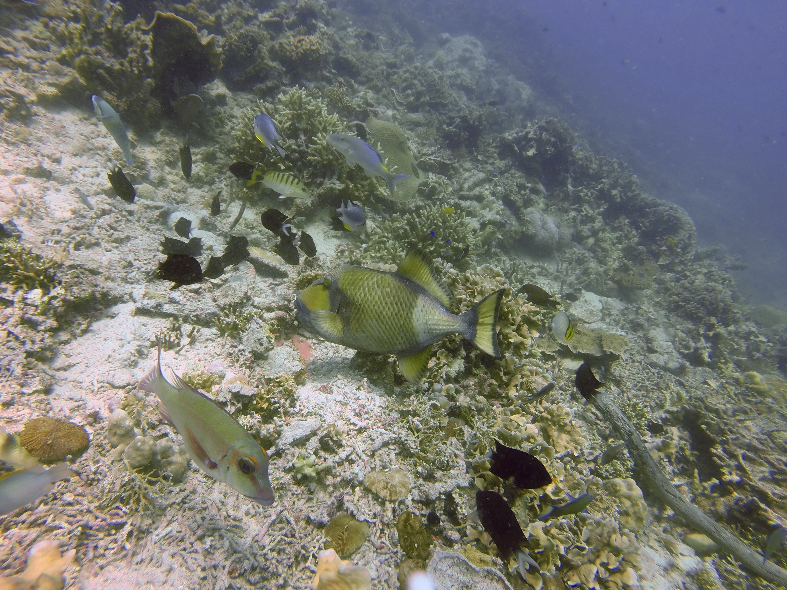 (2/2019, Santa Barbara) Titan triggerfish paper submitted to Marine Biodiversity! Fingers crossed for a timely and fair review. Email me for a sneak-peak.