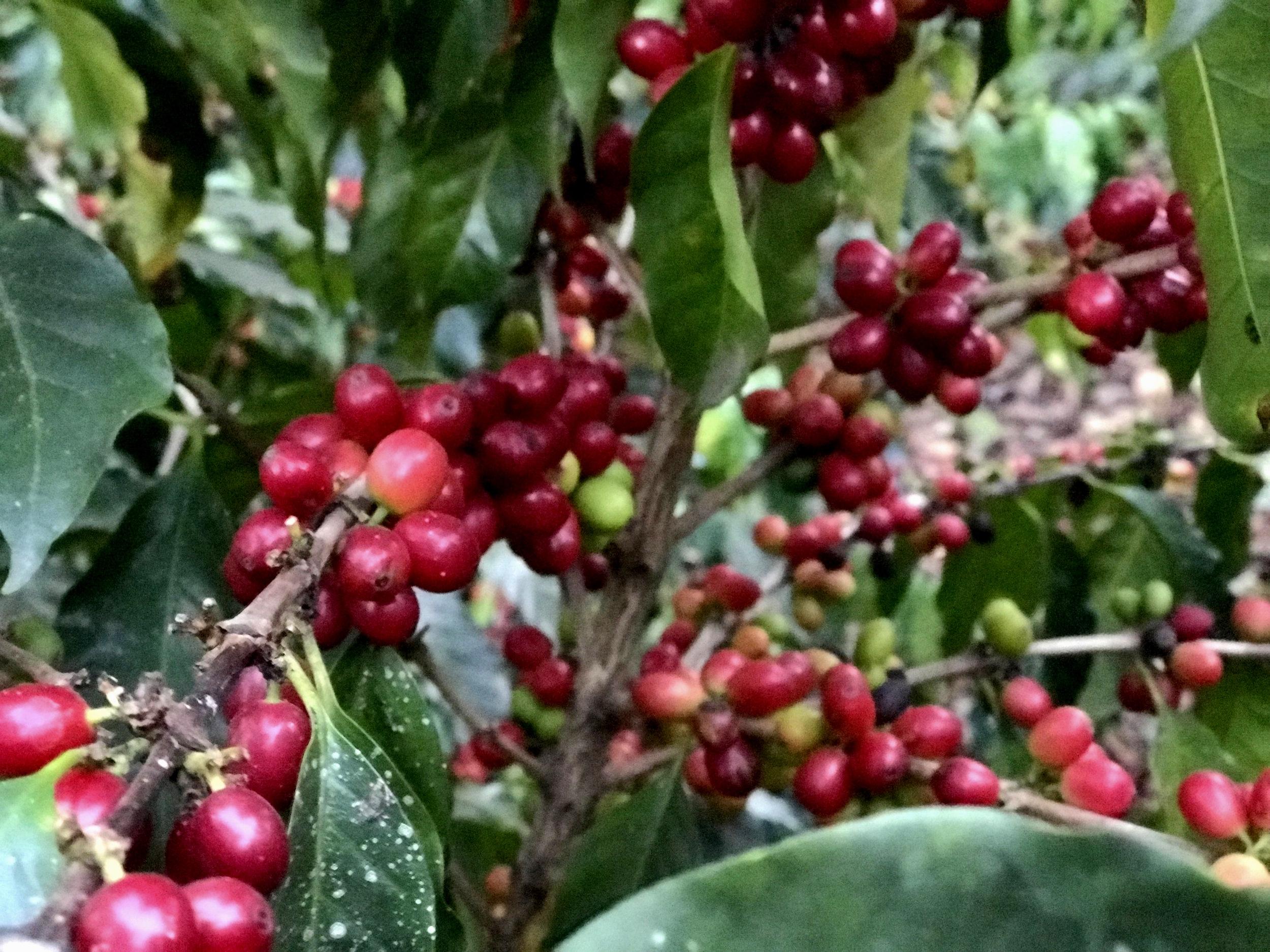 Coffee+cherries+growing.jpg