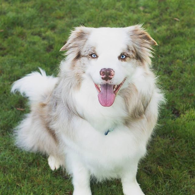 Got to run round with this (not so little) collie on the weekend! #petportraits #pawsoncue #whangareiphotographer #collie