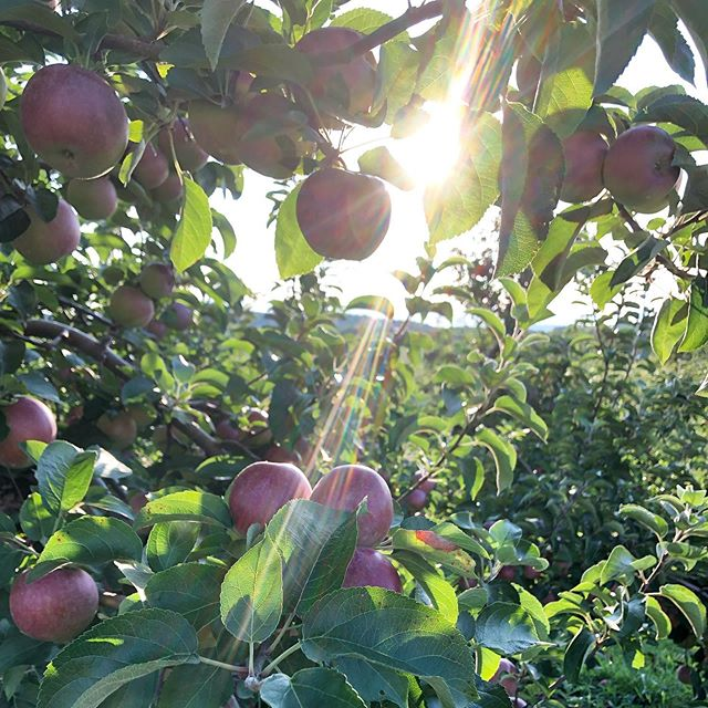 It's almost apple time. Much as I love a good 🍎 I want to hold on to the expansive energy of summer for a bit longer.