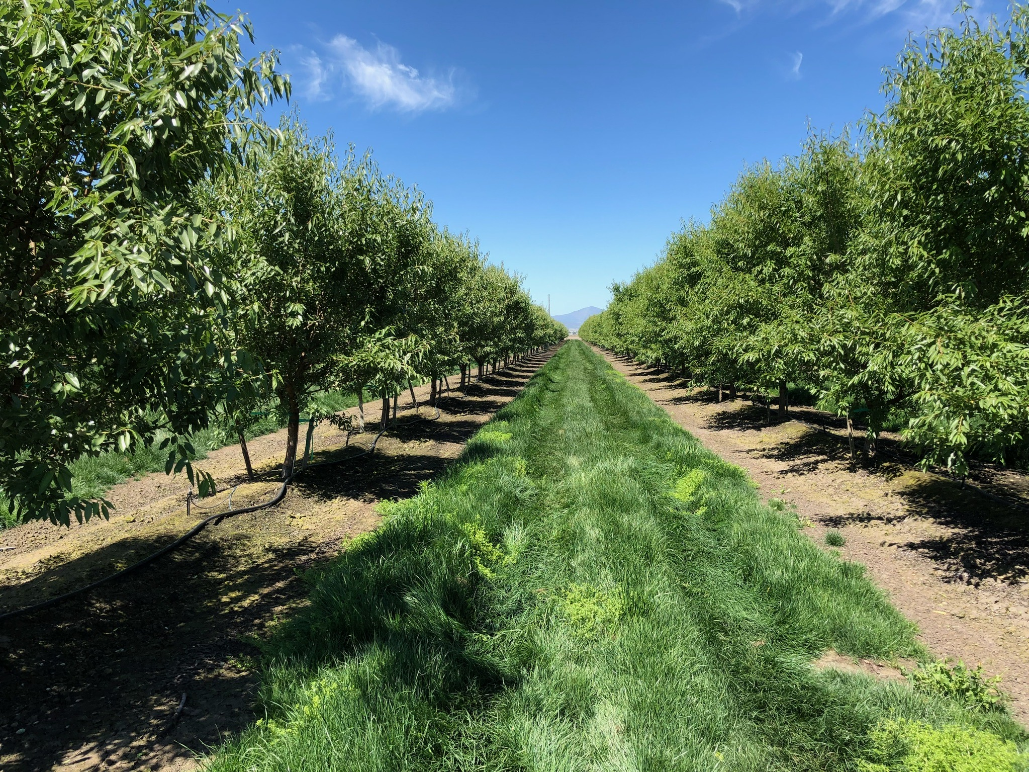 California Almonds -