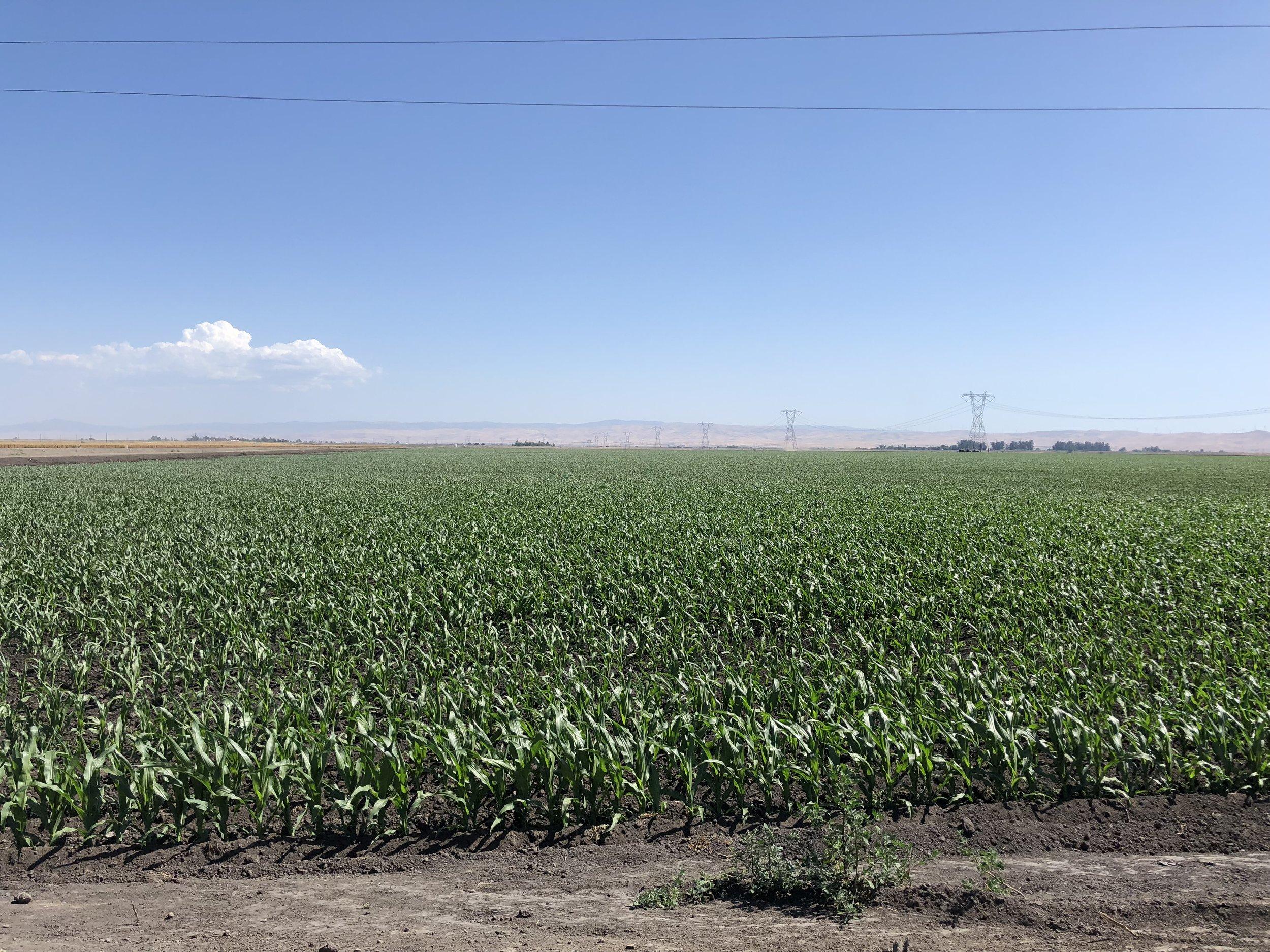 California Corn - If you plant it, it will grow