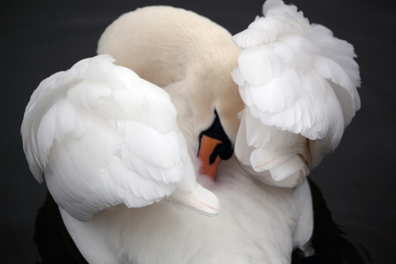 geese to swans.jpg
