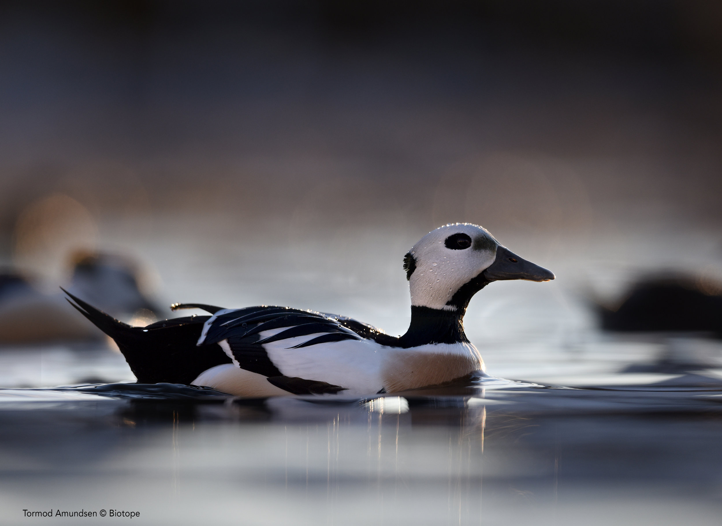 Stellers Eider Kiberg feb 6th 2016 BIO_8642 sign med res - Amundsen © Biotope.jpg