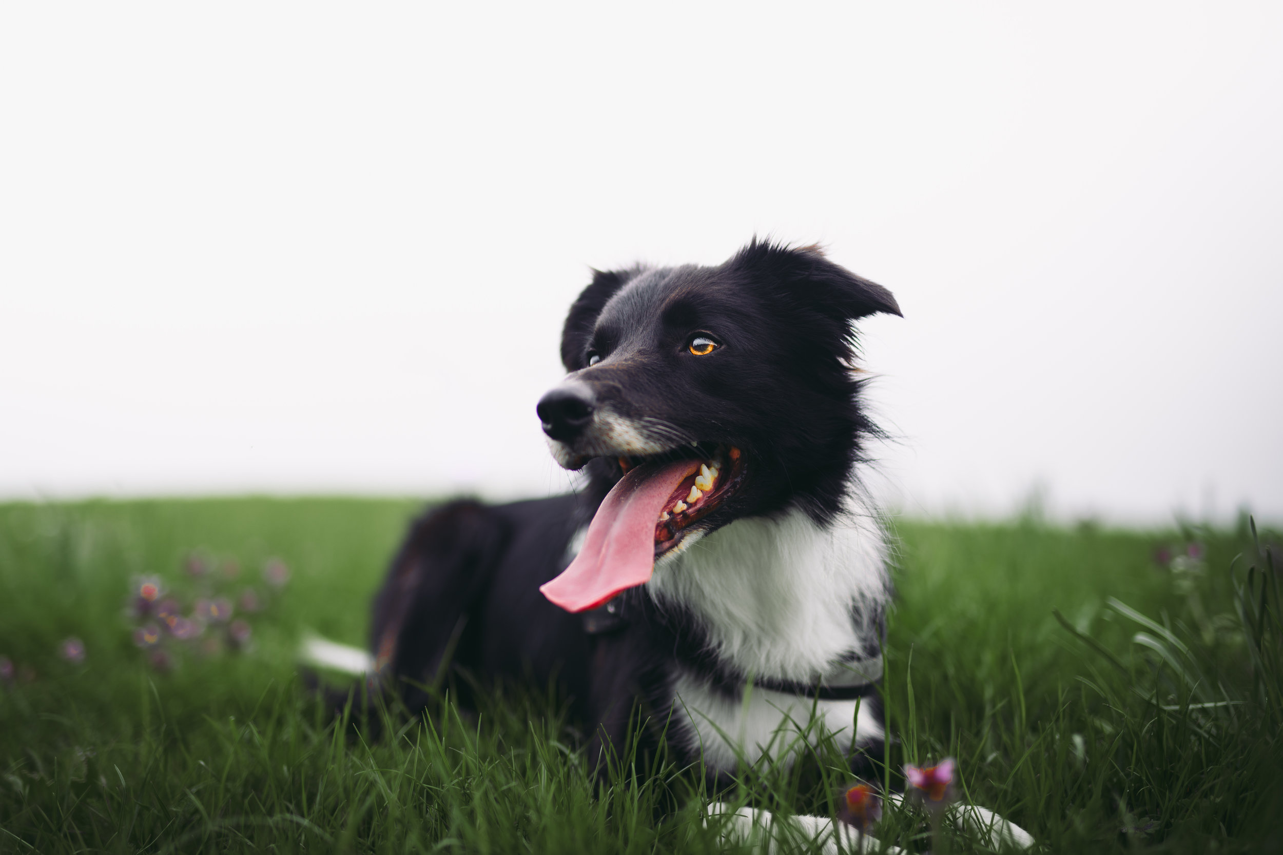 Border collie dog in grass