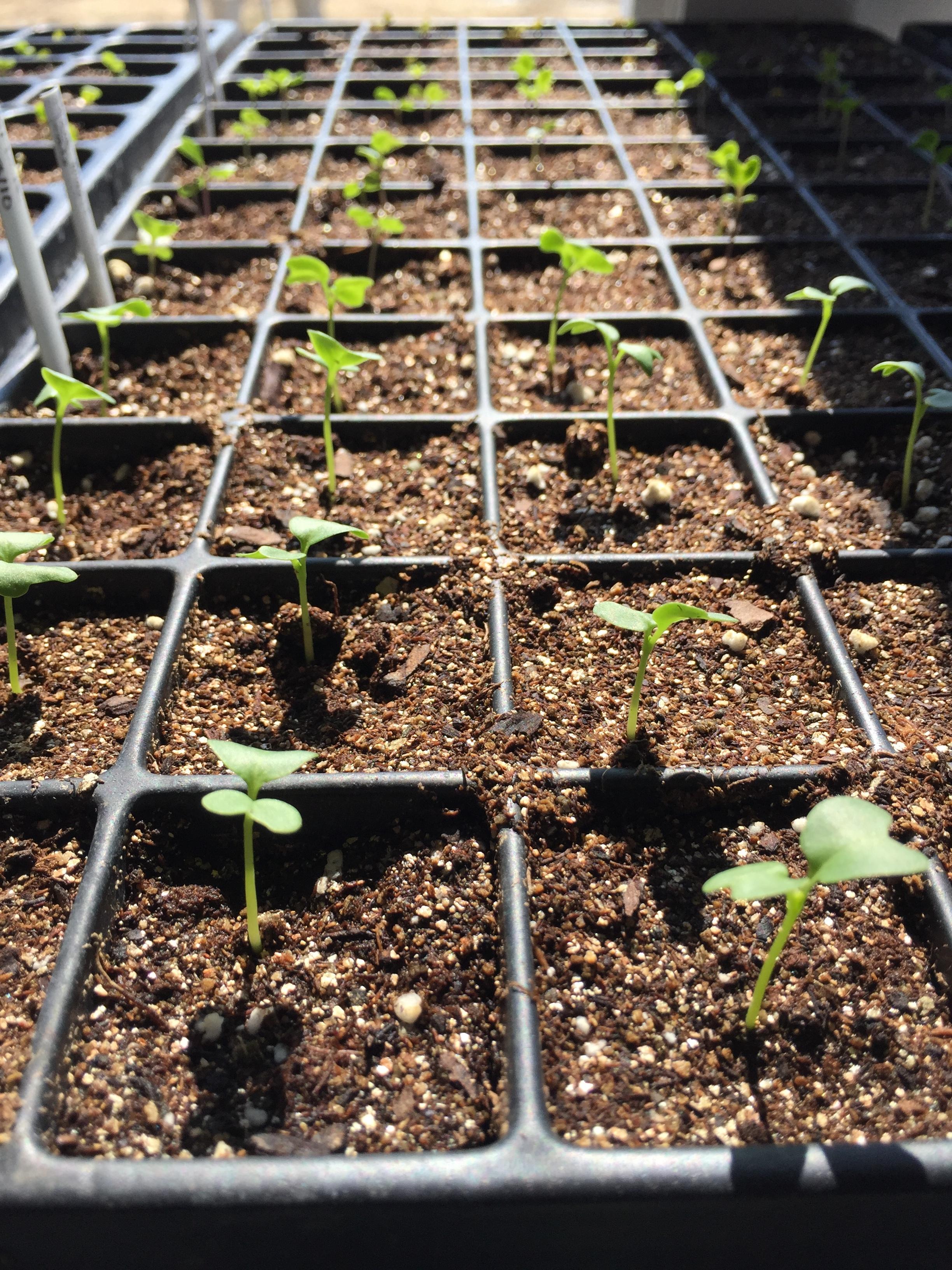 Seedlings in afternoon sun.