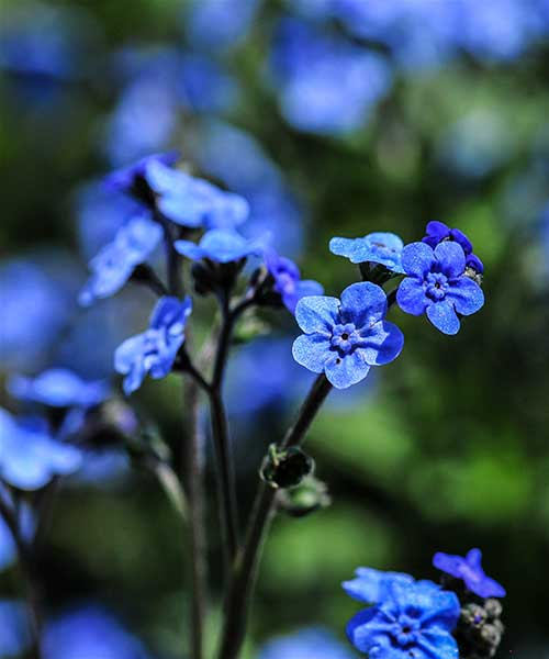 ##forget-me-not.jpg