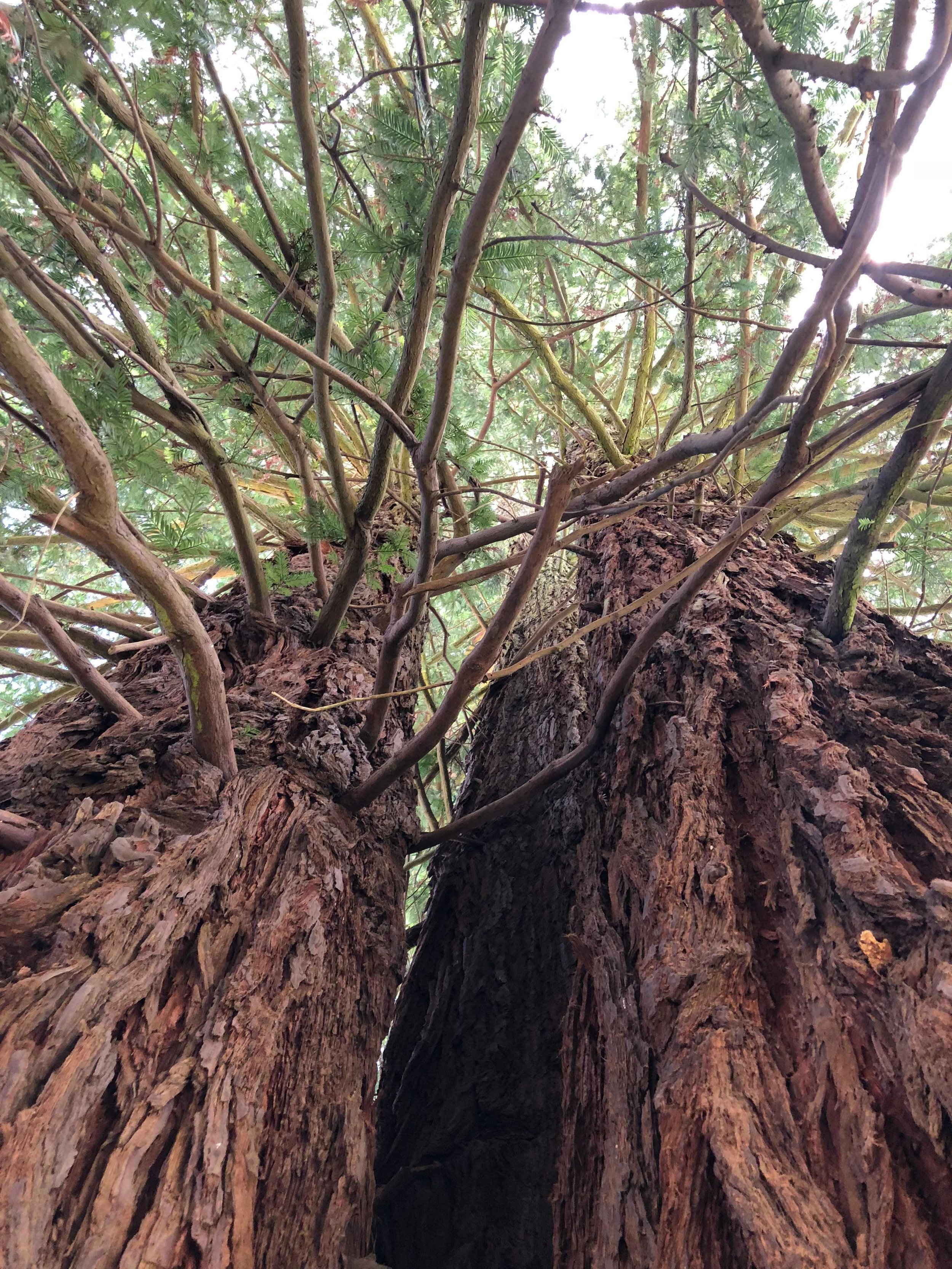 Three Redwoods in Symbiosis in San Francisco - photo Aiden Douglass