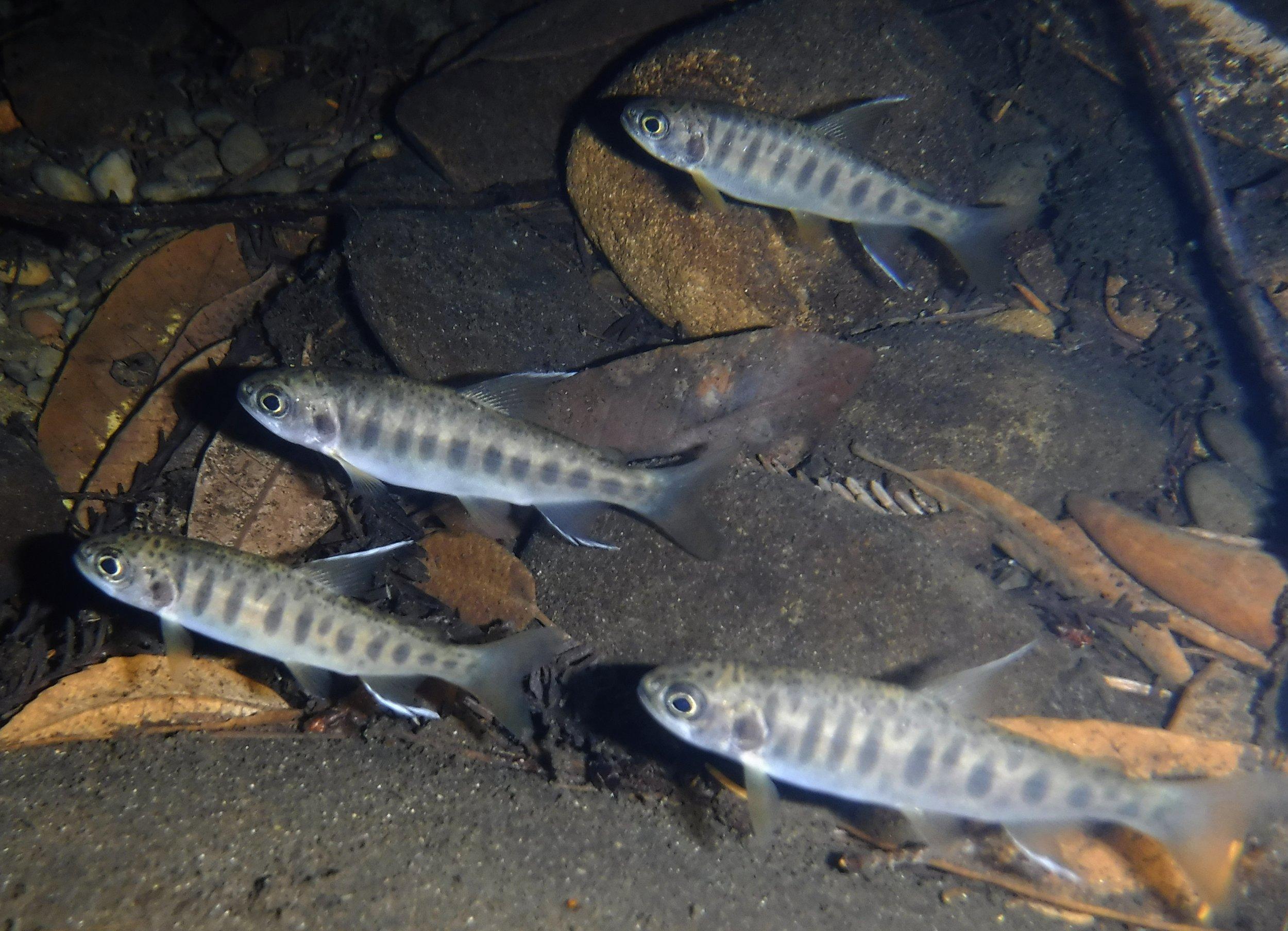 Native Fish