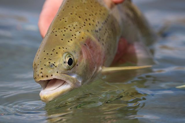 The countdown begins! 10 days until cutty country opens up. Who else cant wait? #flyfishing #fishing #trout #flyshop #supportyourlocalflyshop #dryfly #freestone #wilderness #wildernessculture #outdoors #camping #cutthroat #bulltrout #rainbowtrout