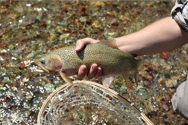 2 Days! Who is all getting out to trick some cuttys this weekend?  #explore #supportyourlocalflyshop #flyfishingjunky #wildernessculture #flyfishing #trout #southernalberta #cutthroat #trout #freestone #es1 #outdoors #fathersday #troutbum #backcountry #