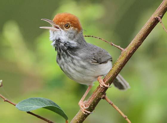 Cambodian Tailorbird  Orthotomus chaktomuk  © James Eaton / Birdtour Asia