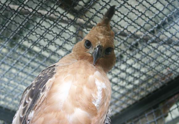 Indonesia's national bird – the Javan Hawk-eagle – is one of those most at risk  © Chris R Shepherd / TRAFFIC